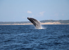Colina Verde Humback Whale Jumping