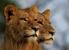 leopard hills private game lodge ; kruger national park lions
